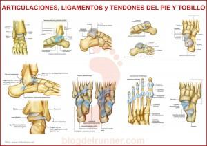 blog-zapatos-nieves-martin-comprar-online-conoces-tus-pies-articulaciones-ligamentos-tendones-del-pie